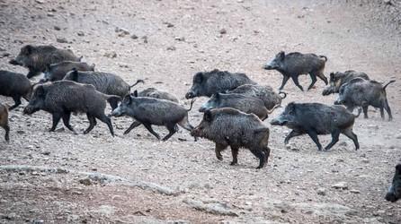 Troupeau de sangliers dans le domaine de chasse de Peyrassol en Provence