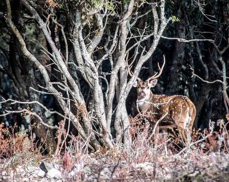 daim dans le domaine de chasse de Peyrassol en Provence