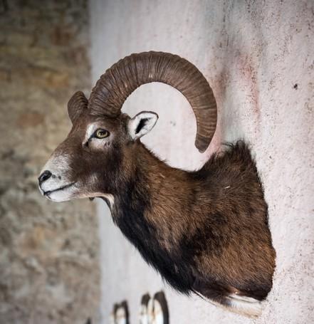 tete de mouflon comme trophée de chasse à Peyrassol